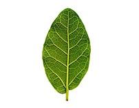 Creeper Plant - Trepadeira Verde