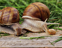 Snail family! Mother father and son snail.Macro photo