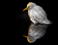 White Egret Collection 1