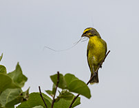 Yelloweyed Canary