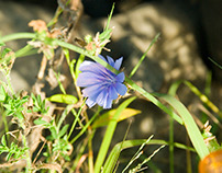 Blue Chicory & Dandelion Photography 2015