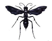 Psammocharidae (Дорожная оса)