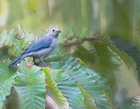 Blue-grey Tanager, Bajo Mano, Boquete, Panama 5/28/2014