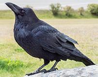 Corvus & Corvidae
