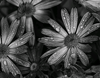 osteospermum and droplets