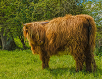 Purebred cow Highland