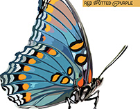 The Red Spotted Purple Butterfly