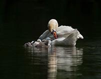 Happy swan family