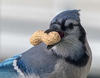 Blue Jays Project - Close-up