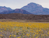 Death Valley and the Super Bloom 2016