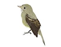 Empidonax Traili / Willow Flycatcher. Ilustración