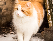 Red-headed cat from Russia, Pechory