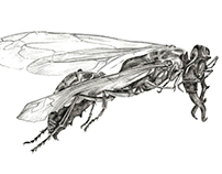 Scientific Illustrations Wasps