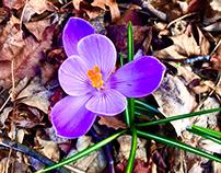 Purple Flower After the Rain