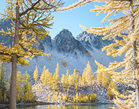 Larches of the Northwest