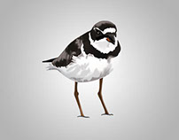 Plover Illustration