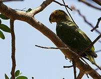 Papagaio-galego (Alipiopsitta xanthops)