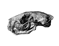 Unmeasured Skunk Skull Drawing