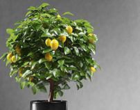 Free Lemon Tree 3D Model