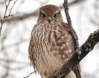 Merlin's Falcon