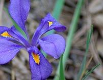 Woodland Dwarf Iris