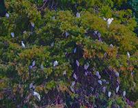 CYPRESS ROOSTING TREES