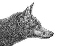 Finished Fox Pencil Illustration