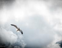 Caribbean Seagull in Flight
