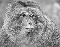 Macaque Portraits