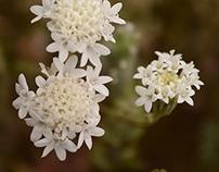 Wildblooms: Northern Sonora Desert, Winter/Spring
