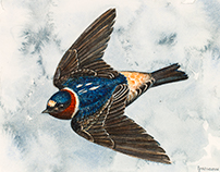 Cliff swallow for Club 300 Sweden