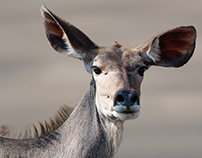 Kudu. Composite background.