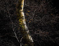 A Network of Birch