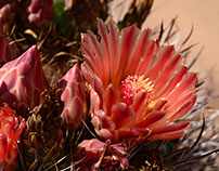 Wildblooms, Northern Sonora Desert, Summer