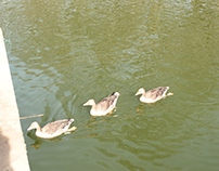 The birds of Saint James's park
