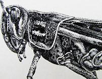 Grasshopper - Scietific Illustration