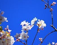 Cherry blossom, SF