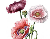 Scientific illustration. Papaver somniferum.