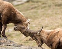 Steinböcke im Frühling / Ibex in spring