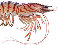Drawing of a Tiger Shrimp