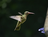 Hummingbird Series