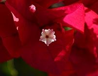Autumn: Bougainvillea in Bloom