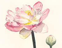 Botanical Illustration 1