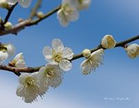 WHITE BLOSSOMS OF UME TREE