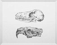 Tasmanian Tiger & Wood Chuck Skull Study