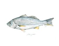 Ilustración especies marinas Centro Innovación UC