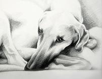 Yala – Sloughi dog