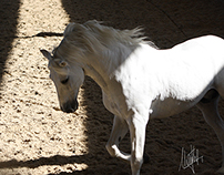 Caballo blanco en libertad