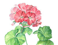 Pelargonium Botanical Illustration