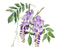 Wisteria Botanical Illustration